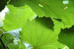 Blätter der Trauben Stockbilder