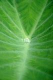 Blätter der Wasserbrotwurzel Lizenzfreies Stockbild