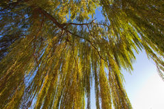 Blätter der Weide bei Sonnenuntergang Lizenzfreies Stockbild