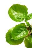 Blätter der Weide am Frühlingsmakro Lizenzfreies Stockfoto