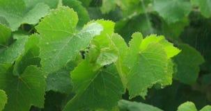Blätter in der Zeitlupegesamtlänge des starken Regens stock video