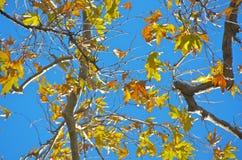 Blätter des Ahornholzes Stockfotos