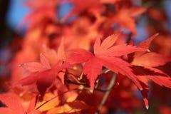 Blätter des Ahornholzes Stockbild