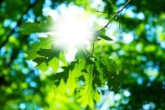 Blätter des Ahornholzes mit Sonne Stockfotografie