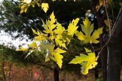 Blätter des Ahornholzes während des Falles Lizenzfreie Stockfotos