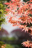 Blätter des Ahorns (Acer-palmatum Thunb) Stockfotos
