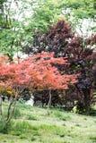 Blätter des Ahorns (Acer-palmatum Thunb) Stockbilder
