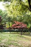 Blätter des Ahorns (Acer-palmatum Thunb) Stockfoto