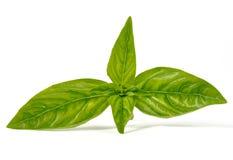 Blätter des Basilikums Stockfotografie