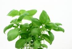 Blätter des Basilikums Lizenzfreies Stockfoto