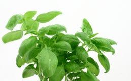 Blätter des Basilikums mit Dewdrops Stockfoto