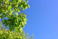 Blätter des blauen Himmels und des Grüns Lizenzfreie Stockfotos