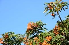 Blätter des Ebereschenbaums mit Beeren Stockbild