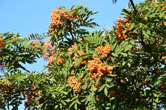 Blätter des Ebereschenbaums mit Beeren Stockfotografie