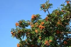 Blätter des Ebereschenbaums mit Beeren Stockfoto