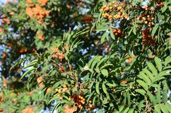 Blätter des Ebereschenbaums mit Beeren Lizenzfreies Stockbild