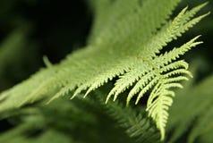 Blätter des Farns Stockfotos