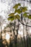 Blätter des Frühlinges Stockfotografie