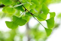 Blätter des Gingko Biloba Baums Stockbild