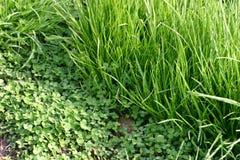 Blätter des grünen Grases und des Klees Stockfotografie