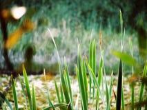 Blätter des Grases Stockbild
