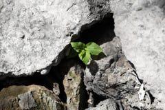Blätter des Grases im Stein Stockfotografie