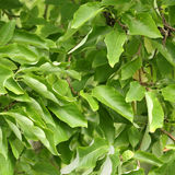 Blätter des Gurkenbaums, Magnolie acuminata Lizenzfreies Stockfoto