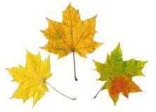 Blätter des Herbstahornholzes drei Stockfoto