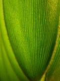 Blätter ?des Jamaika-Sagobaums? Lizenzfreie Stockfotografie