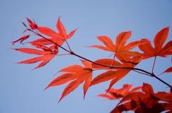 Blätter des japanischen Ahornholzes Lizenzfreies Stockfoto