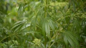 Blätter des jungen und wilden Hanfschwingens vom Wind im regnerischen Wetter