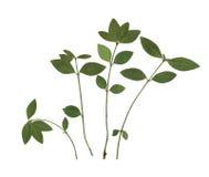 Blätter des Kirschholzes Herbarium Zusammensetzung der Blätter auf einem weißen Hintergrund Lizenzfreies Stockfoto