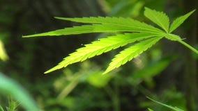 Blätter des klaren Grüns, die in Wind beeinflussen stock video