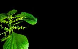 Blätter des klaren Grüns indischen Acalypha copperleaf im schwarzen backgr Lizenzfreie Stockbilder