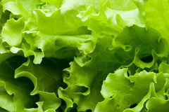 Blätter des Kopfsalates Stockfoto