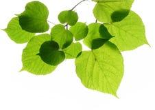 Blätter des Linden (Kalk) Lizenzfreies Stockfoto