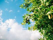 Blätter des Lorbeers und der Beeren auf einem Baum Lorbeerblatt im wilden Lizenzfreies Stockfoto