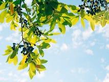 Blätter des Lorbeers und der Beeren auf einem Baum Lorbeerblatt im wilden Lizenzfreie Stockbilder