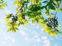 Blätter des Lorbeers und der Beeren auf einem Baum Lorbeerblatt im wilden Stockfoto