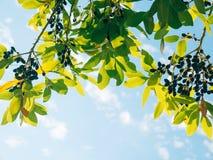 Blätter des Lorbeers und der Beeren auf einem Baum Lorbeerblatt im wilden Stockbild
