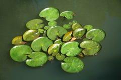Blätter des Lotos Stockbilder