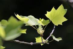 Blätter des Norwegen-Ahornholzes, Acer platanoides Lizenzfreie Stockbilder