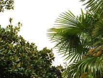 Blätter des Palmen- und Schachtbaums Stockbild