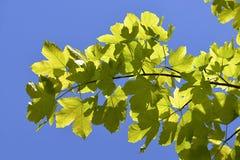 Blätter des Platanenbaums Stockbilder
