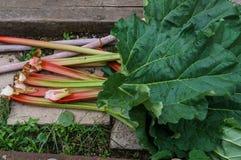Bl?tter des Rhabarbers wachsend im Garten Erste Vitamine stockbild