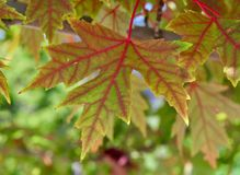 Blätter des Rotahornbaums Stockfotos