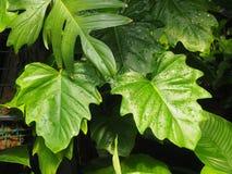 Blätter des tropischen Baums lizenzfreie stockfotos