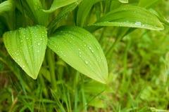 Blätter des wilden Knoblauchs Lizenzfreies Stockbild