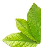 Blätter des Zitronebaums Stockbild