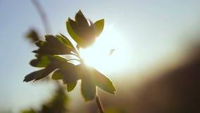 Blätter, die in den Wind in der Sonne beeinflussen stock video footage